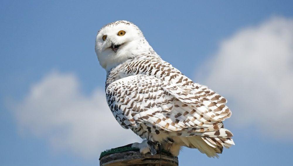 Hedwig, la lechuza de Harry Potter