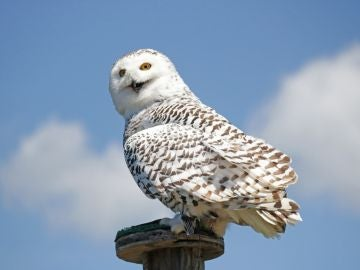 Hedwig, la lechuza de Harry Potter