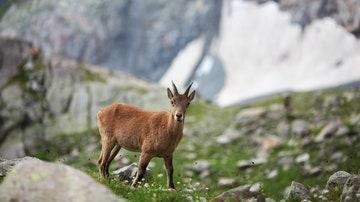 Cabra en las montañas