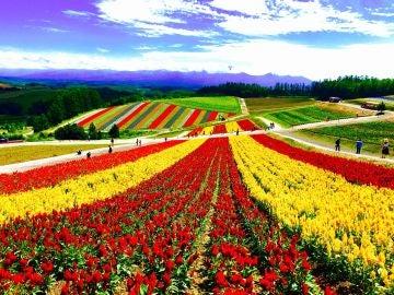 A pesar de parecer pintado, este parque de flores se llena de color cada año en Japón